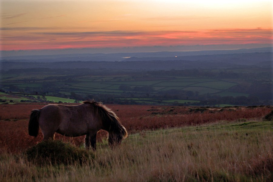 A pony on Cox Tor , Dartmoor at sunset.