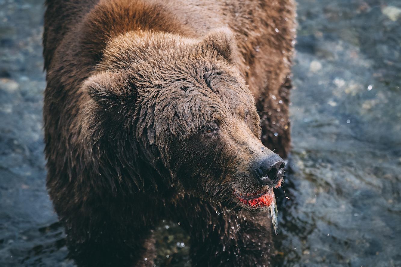 Mick Fanning traf auf Spuren von Bären in Alaska. Credit: Kirstin Scholtz