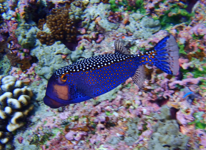 Wenn ich nicht auf dem Wasser am Surfen bin, kann man mich unter dem Wasser finden!  Ich liebe es im lineup zu schwimmen und in den Wellen zu spielen. Dabei gehe ich mit meinen Flossen schnorcheln.  was ein super training ist fuer die Beinkraft zum surfen, und gleichzeitig kann ich all die farbigen Fische betrachten!  Es ist wie in einem riesigen Aquarium zu schwimmen, und jedes Mal wenn ich glaubte ich haette nun alles gesehen, da entdeckte  ich immer wieder einen neuen Fisch! Dieses eckige Exemplar hier ist ein Kofferfisch ca. 30 cm gross und sehr neugierig!  Der war super suess und kam sehr nahe und wollte nicht mehr von meiner Seite gehen!  Seine kleinen Schwimmflossen erinnerten mich an die Fluegel eines Kolibris, die in super high-speed flatterten und dabei sah er aus  als wuerde er durch das Wasser schweben. Ich liebe es in diese faszinierende Unterwasserwelt einzutauchen und finde es super spannend mit meiner Kamera auf  'Entdeckungs jagt' zu gehen. Auch bin ich grossen Mantarays und zwei Riffhaien begegnet- einfach faszinierend!
