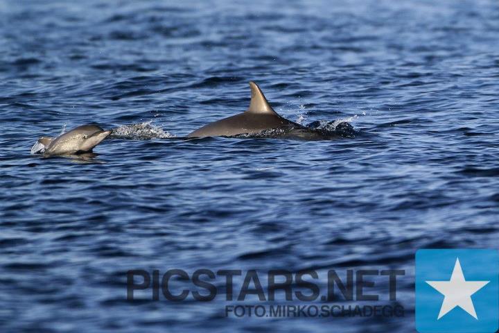 Ich sah fast jeden Tag Delfine! Sie schwammen in grossen Gruppen am Surfboat vorbei, oder kamen ins line up und surften Wellen mit uns! An einem Morgen, als ich den surf checkte, schwam eine Gruppe von ca. 40 Delfinen am Boot vorbei. Halb verschlafen griff ich zu meiner Taucherbrielle, Schnochel und Flossen sprang vom Boot und schwamm so schnell ich konnte hinter den Delfinen nach. Ich konnte sie nirgends mehr sehen, aber ich hoffte so sehr dass ich sie aufholen kann, sodass ich zumindest einen oder  zwei sehen koennte. Ich schwamm so schnell ich konnte fuer ein paar Minuten, und ploetzlich zu meinem erstaunen, da waren sie vor mir,  ca 12 wunderschoene Delfine waren umgekehrt und umkreisten mich!! Dabei machten sie die schoensten Toene und checkten mich aus, sie kamen ca einen Meter nahe an mich ran. Sie schwammen in dieser wunderschoenen syncronisierten Formation und Spiralen-foermig nach unten.  Ich versuchte ihnen zu Folgen und sie umkreisten mich immer noch. Sie schauten mich an und sehen einfach so suess aus mit diesem freundlichen  Laecheln! Dann kamen sie wieder an die Oberflaeche hoch um mich herum. Ich konnte sie immer noch singen hoeren als  sie ins tiefe blaue wegschwammen und verschwunden waren. Es war einfach ein unbeschreiblich schoenes Gefuehl so nahe an diesen puren wilden  Kreaturen zu sein, dieses einmalige Erlebniss werde ich nie vergessen!! photo: Mirko Schadegg Picstars.net